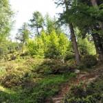 bosco-di-conifere-e-rododendri