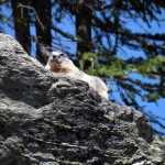 marmotta all'arp vieille