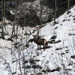 cervo sull'itinerario