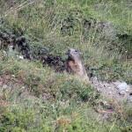 marmotta sul percorso