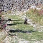 marmotte sulla strada del nivolet