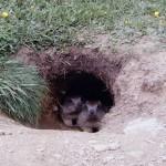 marmotte-curiose