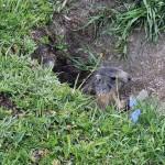 marmotta-curiosa
